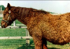 cushing vacht paard