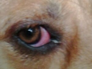 oogprobleem hond